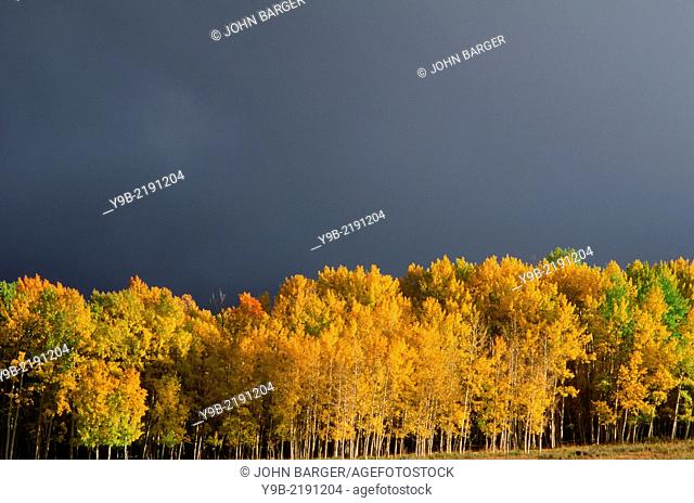 Dark, storm clouds gather over fall colored aspen grove, Uncompahgre National Forest, Colorado, USA