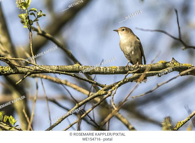 Germany, Saarland, Bexbach - A nightingale is sitting on a branch