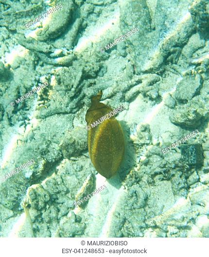 Squid in the sea of Togian islands, Sulawesi