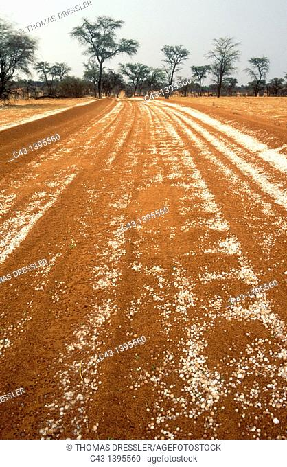 Namibia - Hailstones on a road in the Kalahari Desert with Camelthorn Trees Acacia erioloba in the background  In the Intu Afrika Kalahari Game Reserve