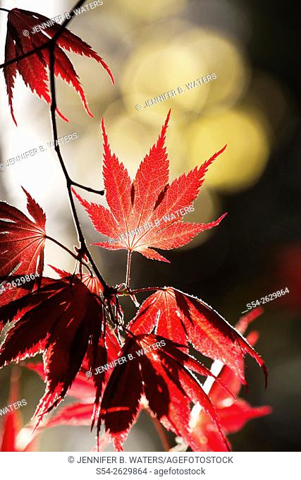 Backlit Japanese Maple leaves