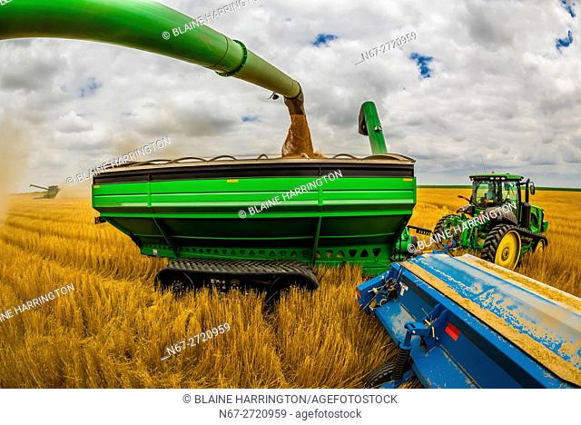 Combine harvestors unload their grain into a grain wagon pulled by a tractor during the wheat harvest, Schields & Sons Farming, Goodland, Kansas USA