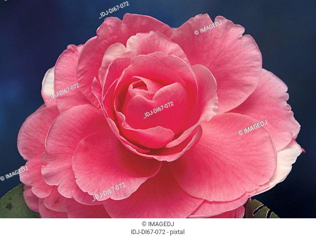Close-up of camellia