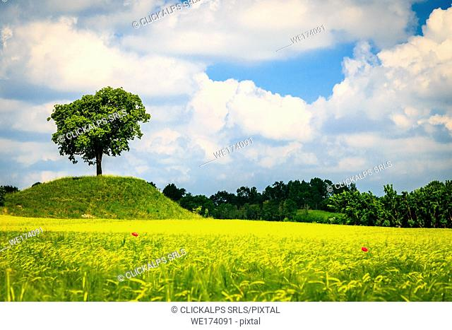 A lonely tree in a field of corn in the countryside of Friuli Venezia-Giulia, Udine Province, Italy