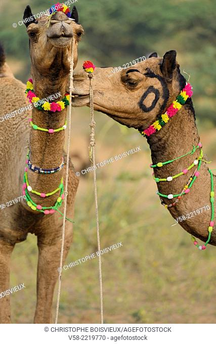 India, Rajasthan, Camels at Pushkar camel fair