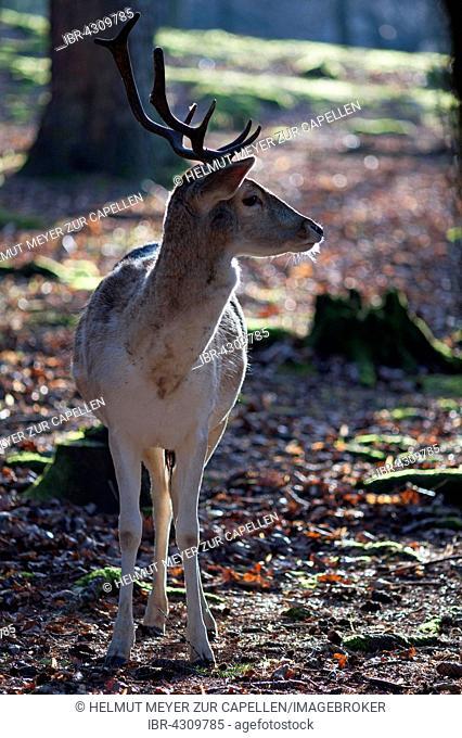 Fallow deer (Dama dama), Wildpark Hundshaupten, Upper Franconia, Bavaria, Germany