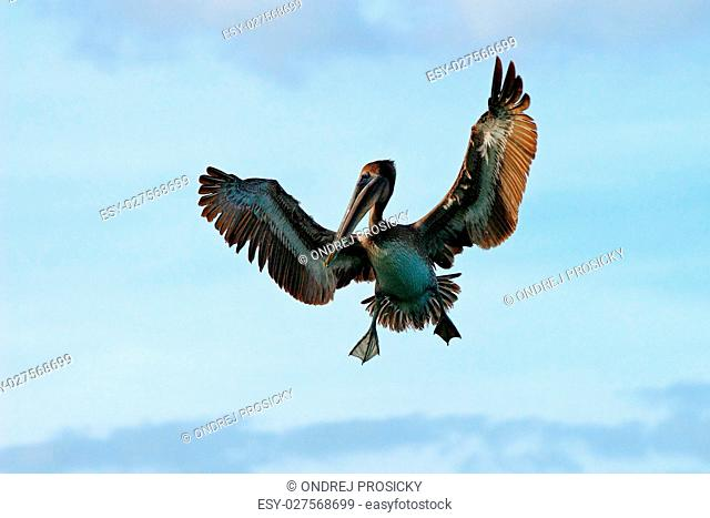 Pelican flying on thy evening blue sky. Brown Pelican