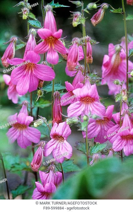 Rehmannia elata blossoms (Rehmannia elata). UW Medicinal Herb Garden, Seattle, WA