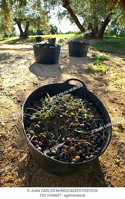Picking olives in the olive grove. Sierra de Andújar Natural Park. Jaén province. Andalucía. Spain