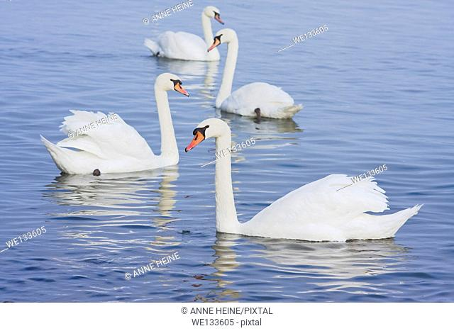 four swans on water
