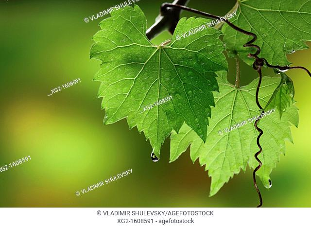 Grape vine leaves with water drops
