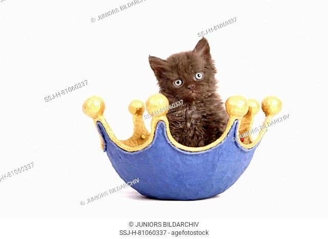 Selkirk Rex. Kitten (6 weeks old) in a dish, shaped like a crown. Studio picture against a white background. Germany