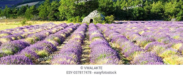 Panoramic view of Lavender field near Banon, France