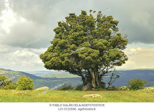 Cade (Juniperus oxycedrus). Sierra de Guadarrama, Madrid province, Spain