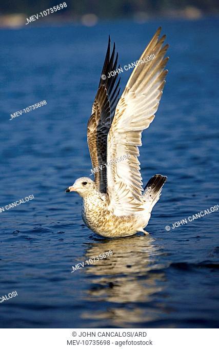 Ring-billed Gull - Juvenile (Larus delawarensis)