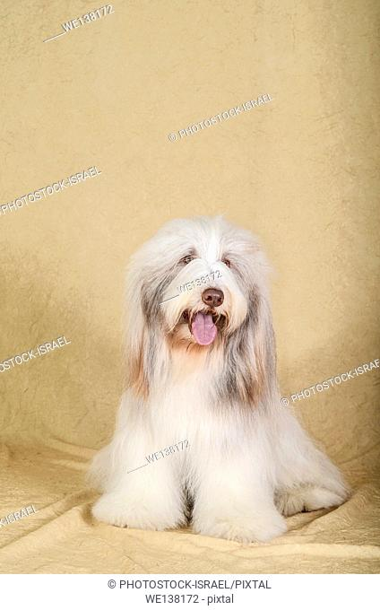 Bearded Collie (also Beardie) a herding breed of dog once used primarily by Scottish shepherds