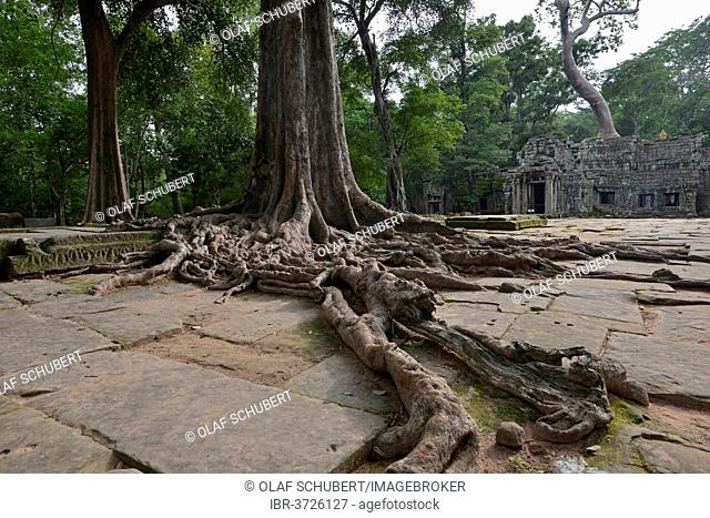 Ta Prohm temple complex overgrown with strangler fig(Ficus virens), Ta Prohm, Angkor region, Siem Reap, Cambodia