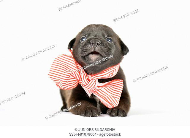 Mixed-breed dog. Puppy (4 weeks old) lying, wearing a big red-and-white bow, seen head-on. Studio picture against a white background. Germany