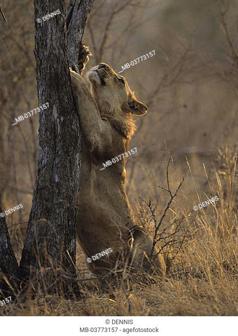 South Africa, Krüger Nationalpark park,  Lion, Panthera Leo, log,  scratches Africa, Krüger-Nationalpark, national park, reservation, wild protectorate, nature