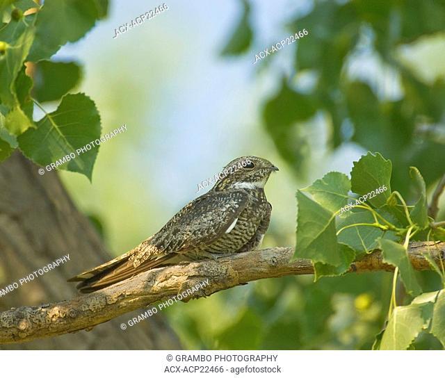 Common Nighthawk Chordeiles minor Saskatchewan, Canada