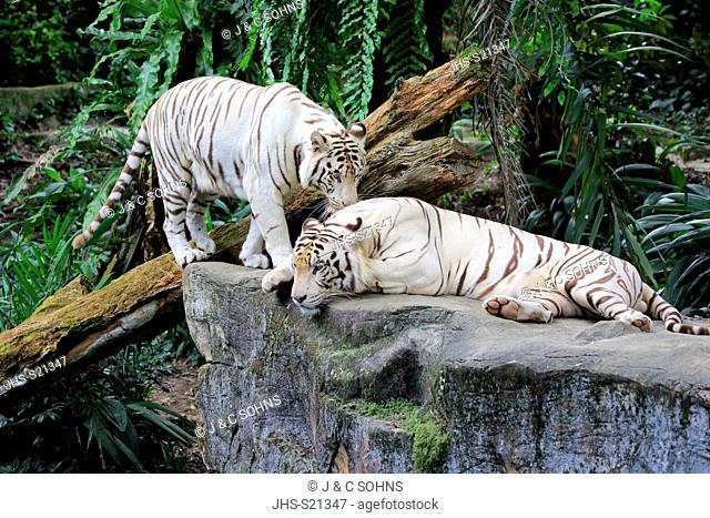 Indian Tiger White Form, White tiger, Bengal tiger, (Panthera tigris tigris), adult couple, India, Asia