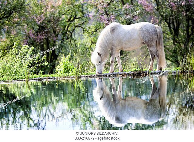 Icelandic Horse. Gray mare mirrored in a pond. Germany
