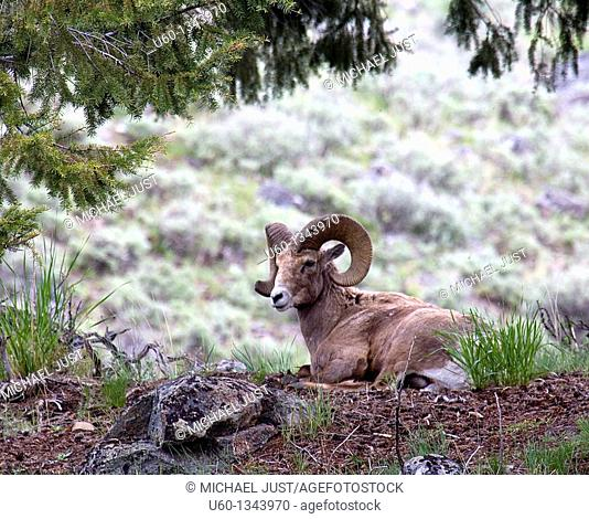 A bighorn sheep sits comfortably at the foor of Mount Washburn at Yellowstone National Park,Wyoming