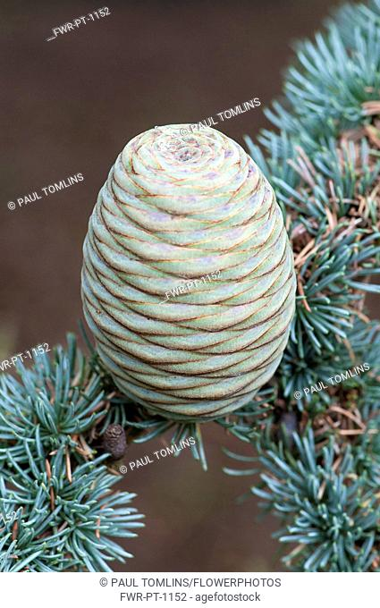 Blue atlas cedar, Cedrus atlantica Glauca Group, A cone hanging on a branch showing the rosettes of needles