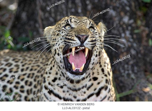 Leopard Panthera pardus Looking Up - Snarling  Sabi Sands Conservancy, Mpumalanga Province, South Africa