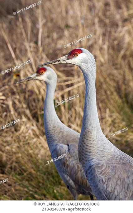 Head and neck details of a Sandhill Crane