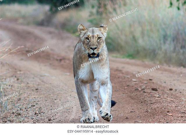 Closeup photograph of an Lioness walking on a dirt road