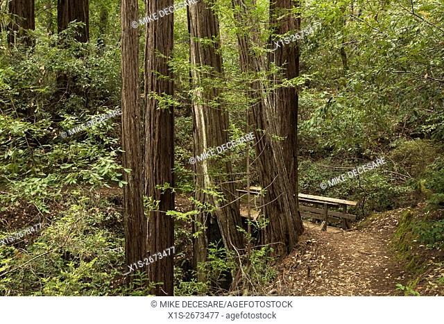 The Blooms Creek Trail in the Redwoods in Southern California winds its way through an Old Growth Redwood forest