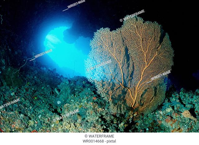 Sea Fan in Virgin Blue Hole, Annella spec., Pacific, Micronesia, Palau