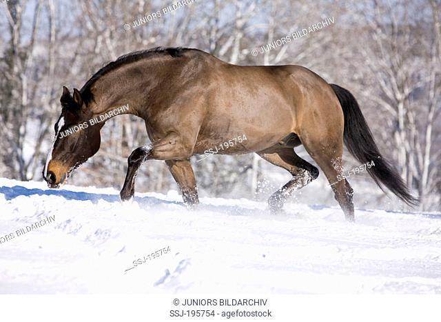 Westphalian Horse Clipped bay gelding trotting in snow Germany