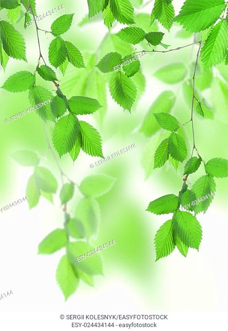 Beautiful spring green leaves in the forest