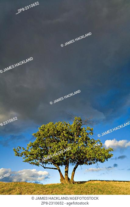 Single tree with ominous clouds overhead in Durham Region, Ontario, Canada