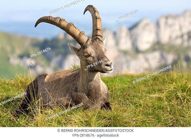 Alpine Ibex (Capra ibex), adult male lying in mountain habitat, Niederhorn, Bernese Oberland, Switzerland