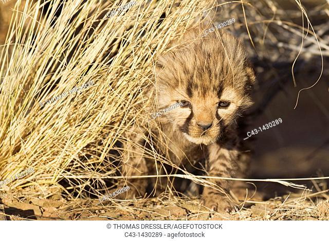Cheetah Acinonyx jubatus - 19 days old male cub  Photographed in captivity on a farm  Namibia