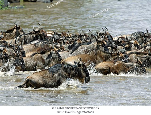 Rivercrossing of wildebeests, lat Connochaetes taurinus albojubatus