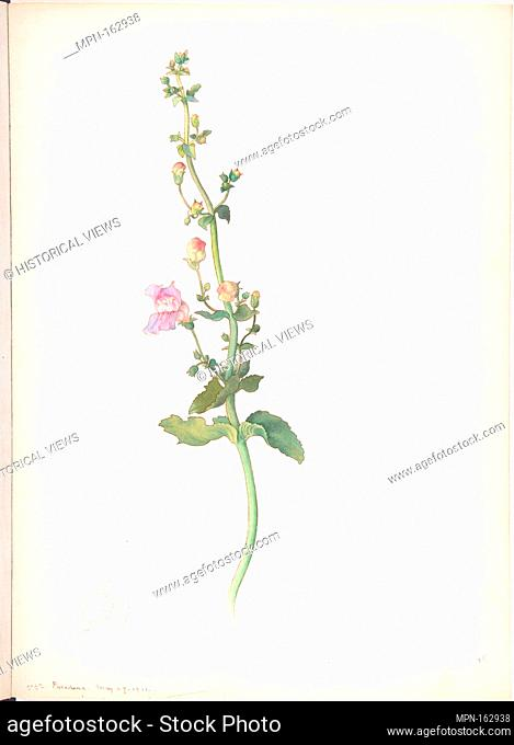 American Wildflower with Pink Blossoms. Artist: Margaret Neilson Armstrong (American, New York 1867-1944 New York); Date: May 29