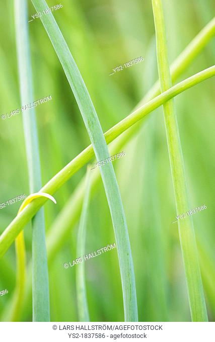 Closeup of green stems of red onion growing in garden