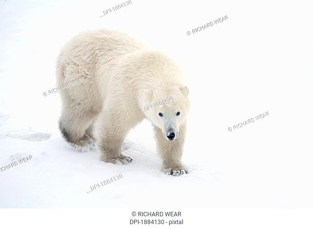 a lone polar bear ursus maritimus walks up and stares into the camera with a curious look, churchill, manitoba, canada