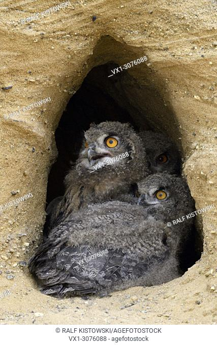 Eurasian Eagle Owls ( Bubo bubo ), young chicks, sitting in the entrance of their nesting burrow, exited, wildlife, Europe