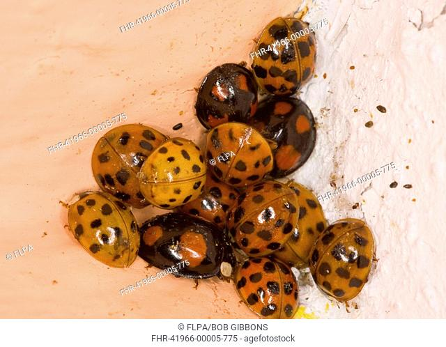 Harlequin Ladybird Harmonia axyridis introduced species, adults, cluster wintering in corner of bedroom, Hampshire, England, winter