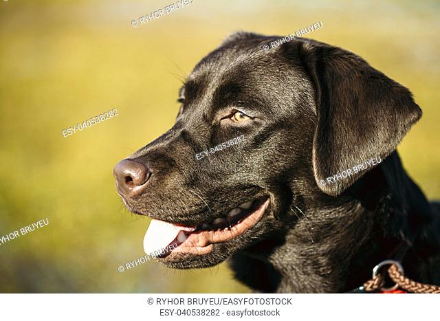 Close-up of Beautiful Brown Dog Head, Snout Of Lab Labrador Retriever Staying Outdoor In Spring