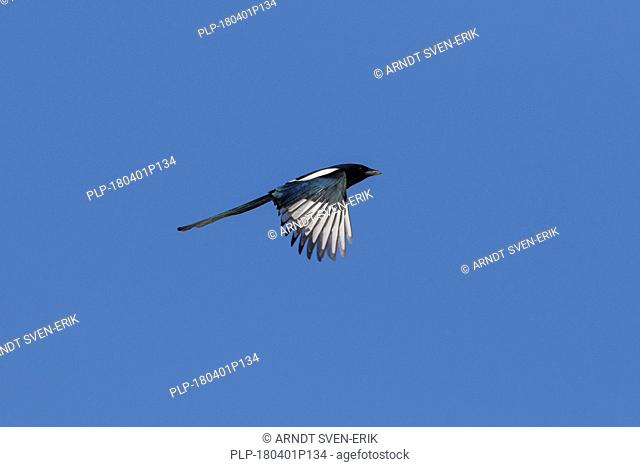 Eurasian magpie / common magpie (Pica pica) in flight against blue sky