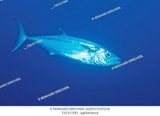 Dogtooth tuna, Gymnosarda unicolor. Rocky Island, Red Sea. Egypt