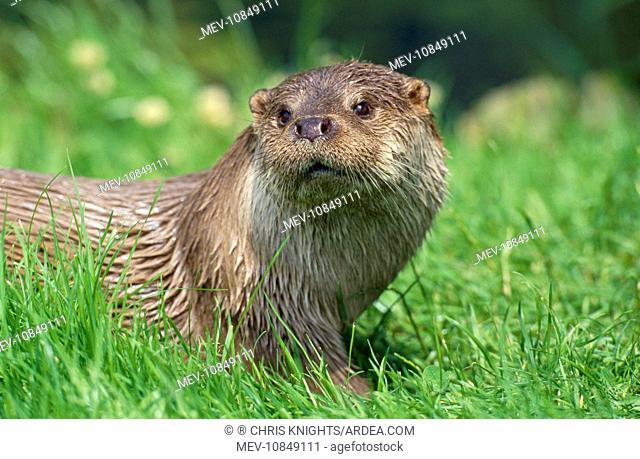 EUROPEAN OTTER - close-up, in Grass, Facing (Lutra lutra )