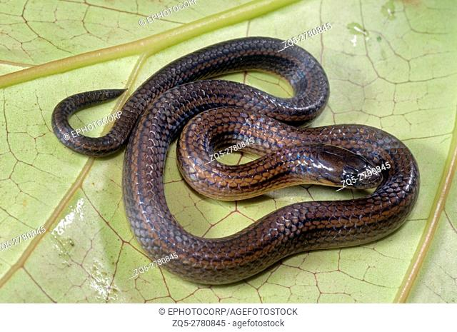 Yellowbelly worm-eating snake (Trachischium tenuiceps) is a species of colubrid snake. Northeast India