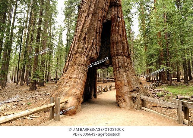 Giant sequoia or giant redwood (Sequoiadendron giganteum) is a big tree native to Sierra Nevada, California, USA. This photo was taken in yosemite National Park